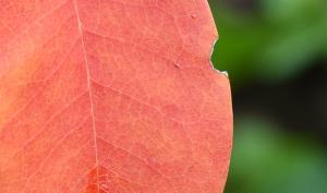 So fotografieren Sie ein schönes Herbstblatt mit einem Teleobjektiv