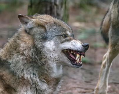 Drohender Wolf
