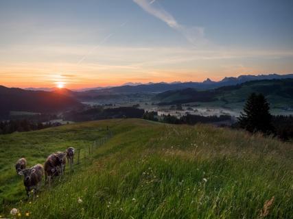 die Kühe im Sonnenaufgang