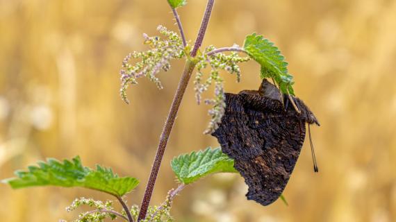 Schmetterling bei Eiablage
