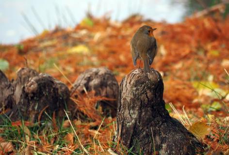 Rotkehlchen im Herbst