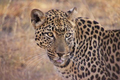Leopard in Südafrika