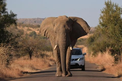 Elefant voraus