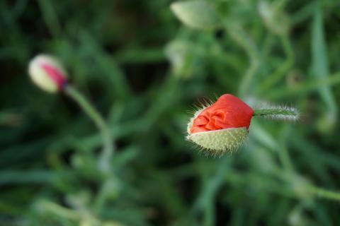 Mohnblume öffnet sich
