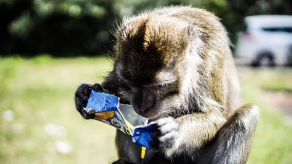 Thirsty Ape - Durstiger Affe