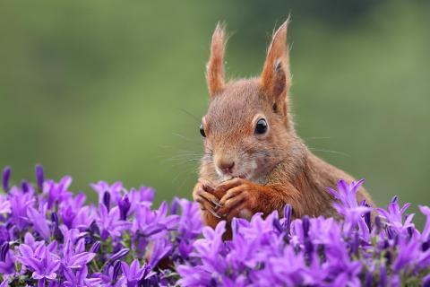 Eichhörnchen in Glockenblumen