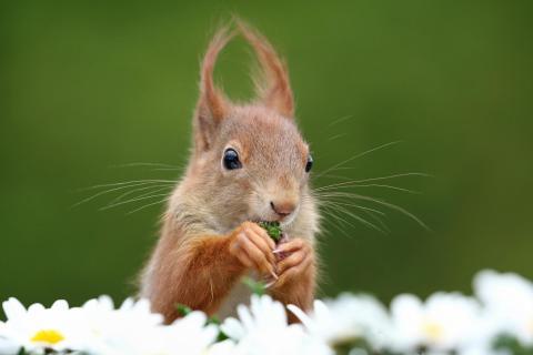Junges Eichhörnchen futtert Margeriten