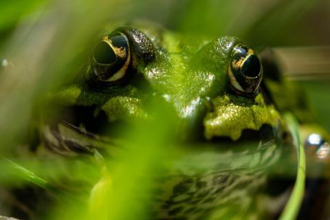 Auge in Auge mit Frosch