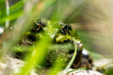 Frosch im Seegras