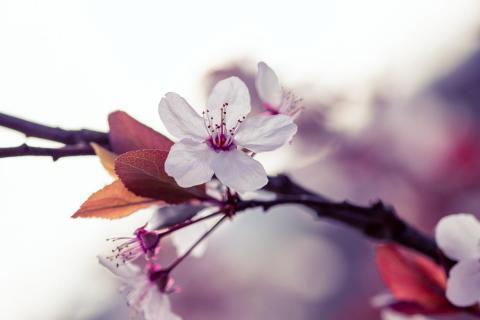 Cherry blossom perfection