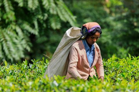Teepflückerin in Sri Lanka