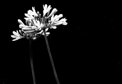 Black/White Flowers