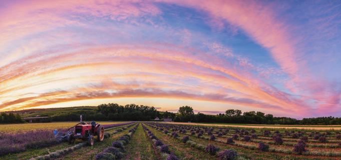 Lavendelernte in der Pfalz
