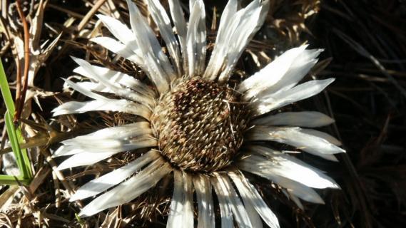 Silberdistel Blüte