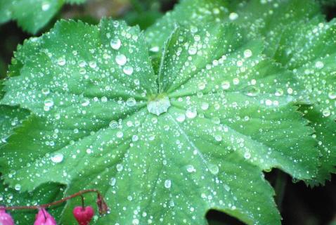 Frauenmantel nach Regen
