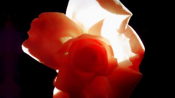 Rosenblüte im Gegenlicht