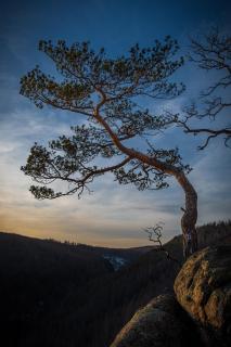 Baum am Ilsestein