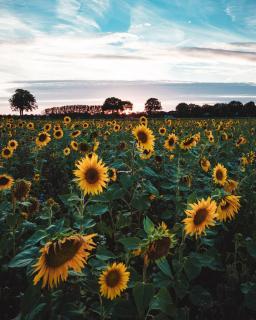 Sonnenblumen Landschaft