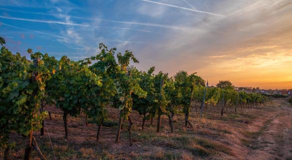 Weinberg bei Sonnenaufgang