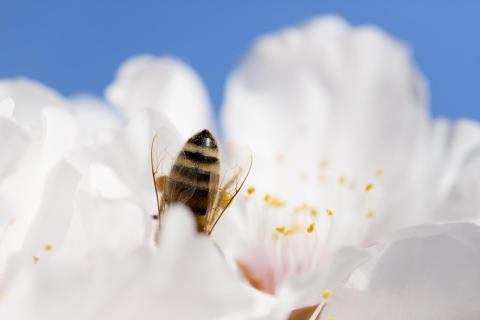 Biene in Mandelblüte
