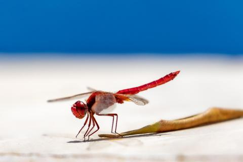Libelle am Pool