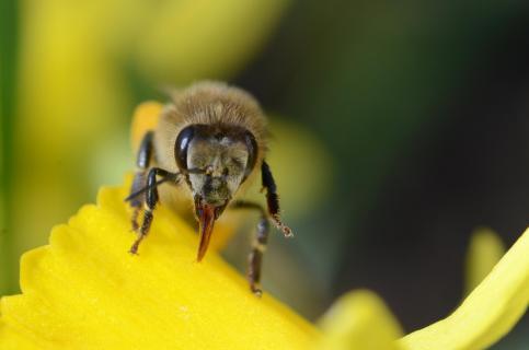 Humorvolle Biene