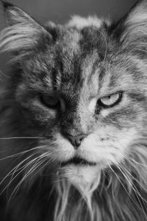 Wildkatze (für Zuhause)