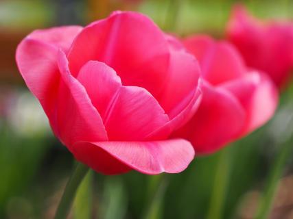 Tupe rosa