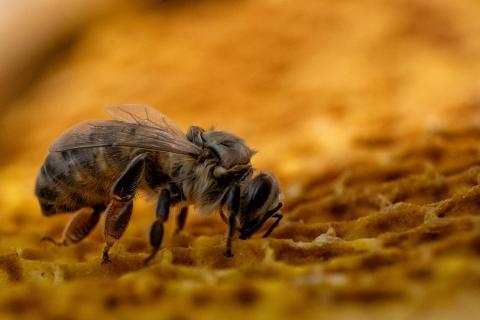 Gerade geschlüpfte Biene auf Bienenwaben