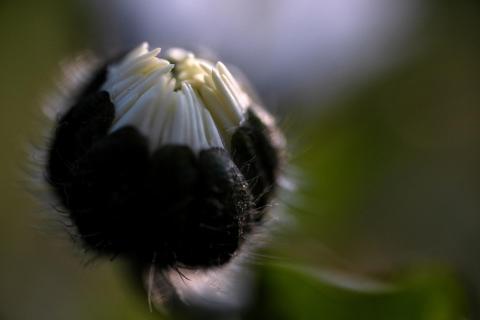 Gänseblümchen, geschlossen