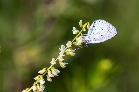 Faulbaum-Bläuling Schmetterling