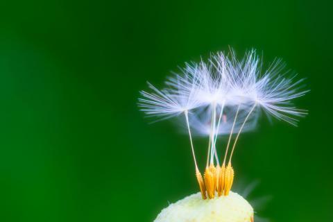 Vom winde verweht Pusteblume