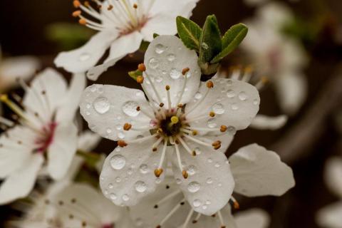 Frühlingsblüte im Regen
