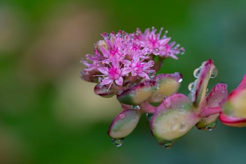 Sedumblüte nach dem Regen