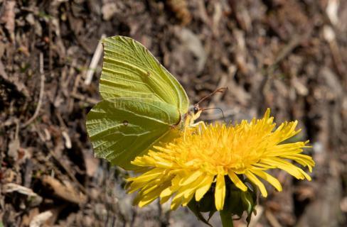 Schmetterling in gelb