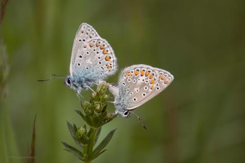 Schmetterlingshochzeit