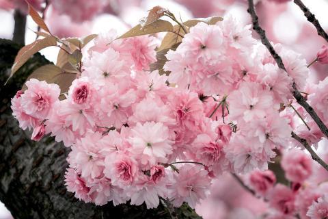 Die Anmut der japanischen Kirschblüten