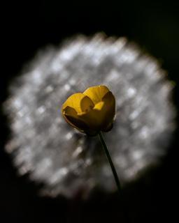 Im Schein der Pusteblume