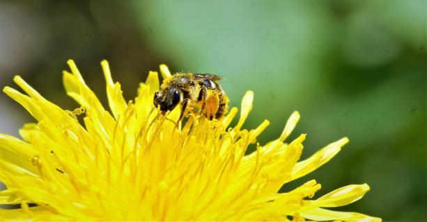 Bienchen im Pollenrausch