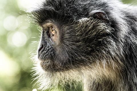 Seitenprofil eines Affen