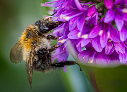 Biene an einer Veronica-Blüte