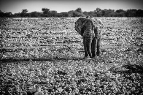 Einsamer Elefant in Etosha
