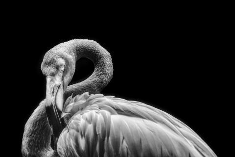 ruhender Flamingo