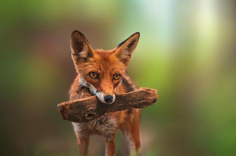Verspielter Fuchs