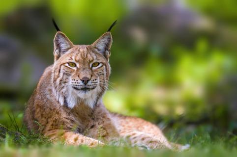 hübscher Luchs (Lynx lynx)