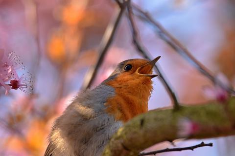 Rufendes Rotkehlchen in blühendem Baum