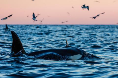 Orca im Nordatlantik