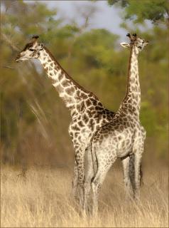 Giraffen im Morgenlicht
