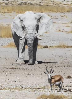 Elefantenbulle in der Etoscha Pfanne