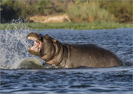 Hippo im Okawango Fluss